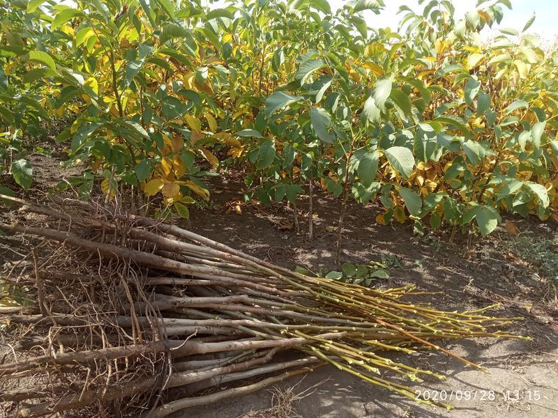 Саджанці горіха Іван багряний - Фото 2