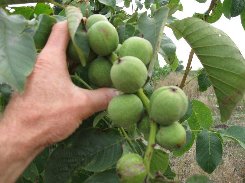Саженцы карликового грецкого ореха - Фото 3