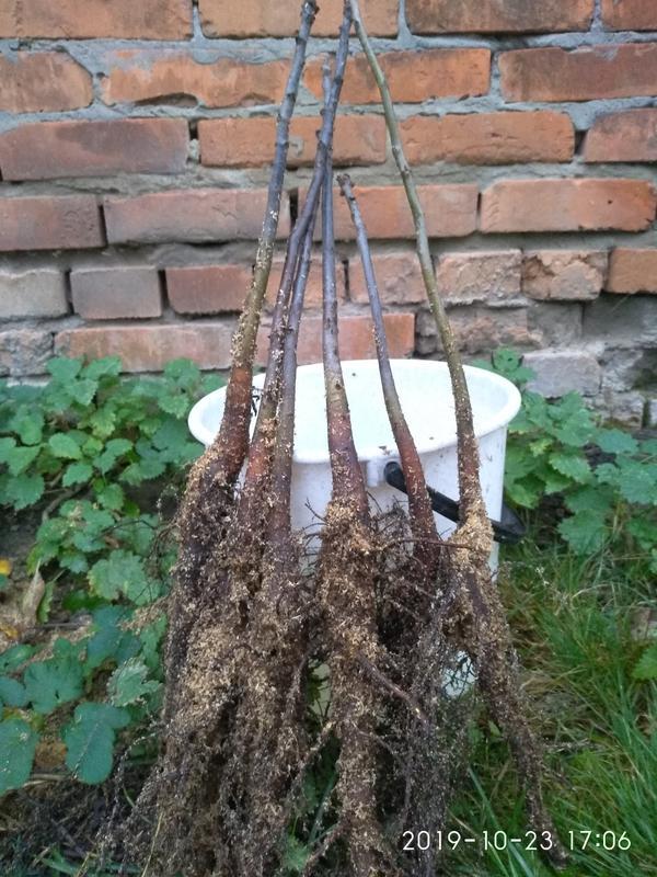 Саженцы карликового грецкого ореха - Фото 6