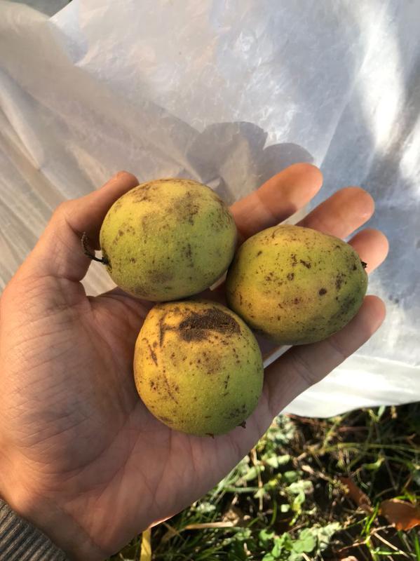 Черный орех / Чорний горіх / Плоды на посадку и настойку - Фото 4