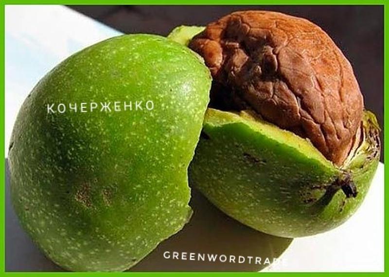 Саженцы грецкого ореха Кочерженко Саджанці грецького горіха Ідеал - Фото 2
