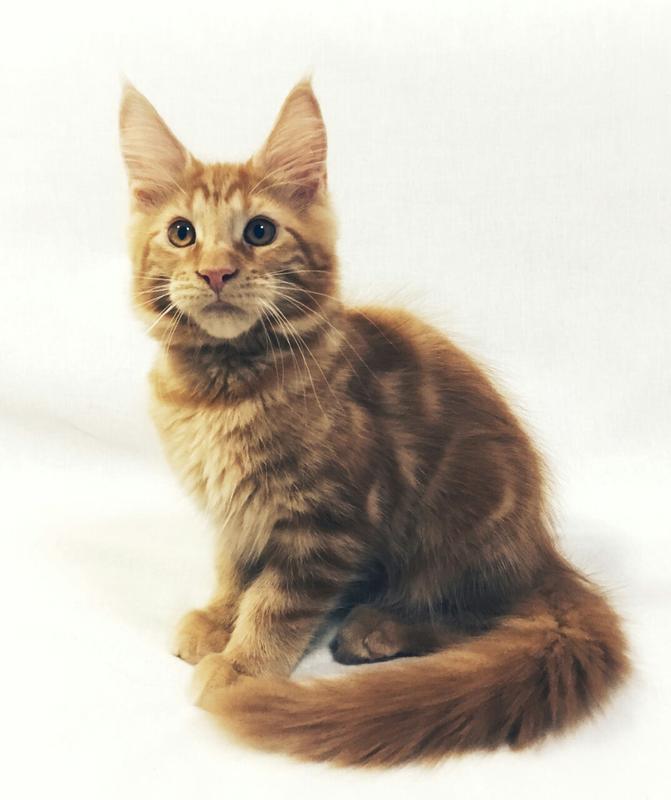 Крупные, очаровательные котята Мейн Кун - Фото 5