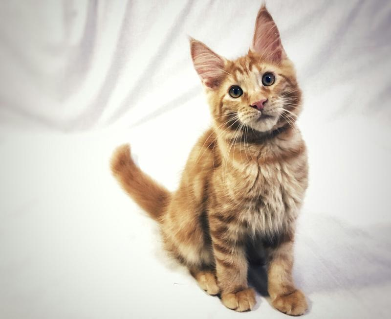 Крупные, очаровательные котята Мейн Кун - Фото 6