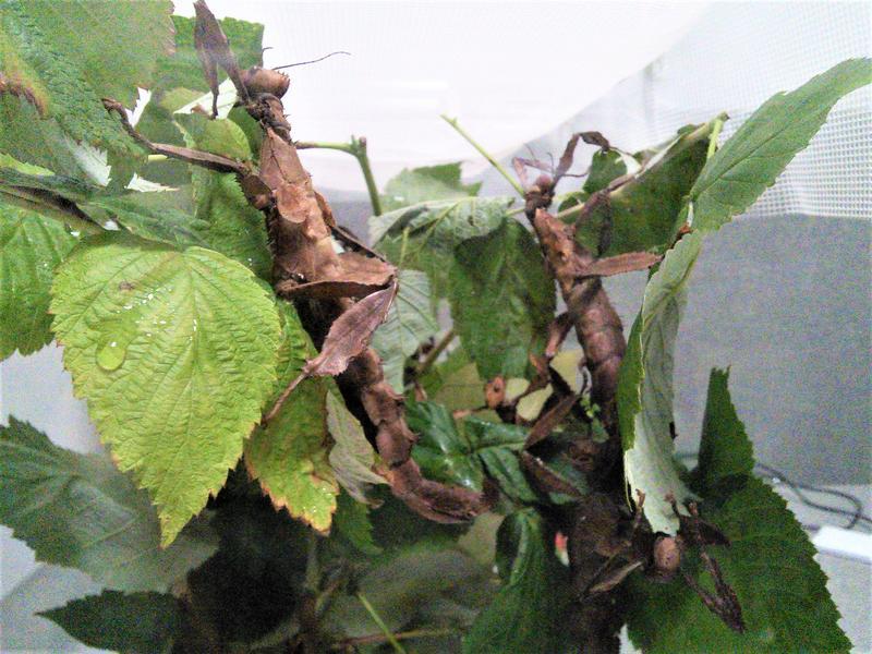 Австралийский палочник (Extatosoma tiaratum) - Фото 5