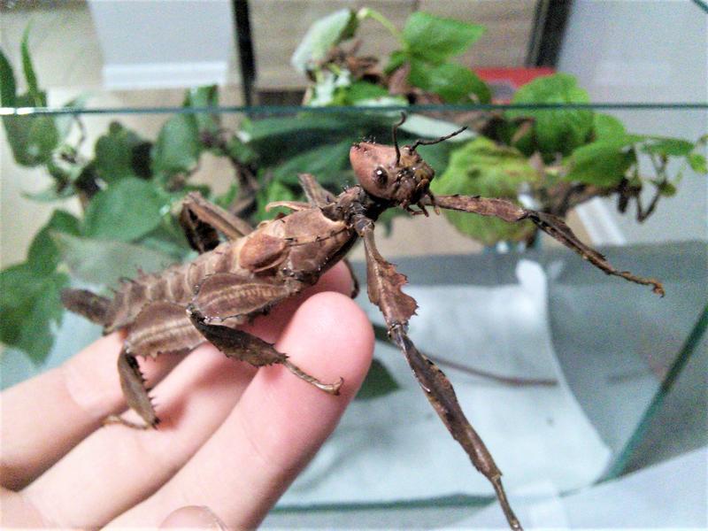 Австралийский палочник (Extatosoma tiaratum) - Фото 2