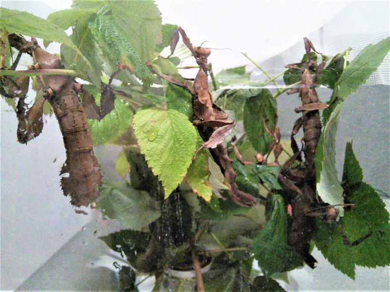 Австралийский палочник (Extatosoma tiaratum) - Фото 4