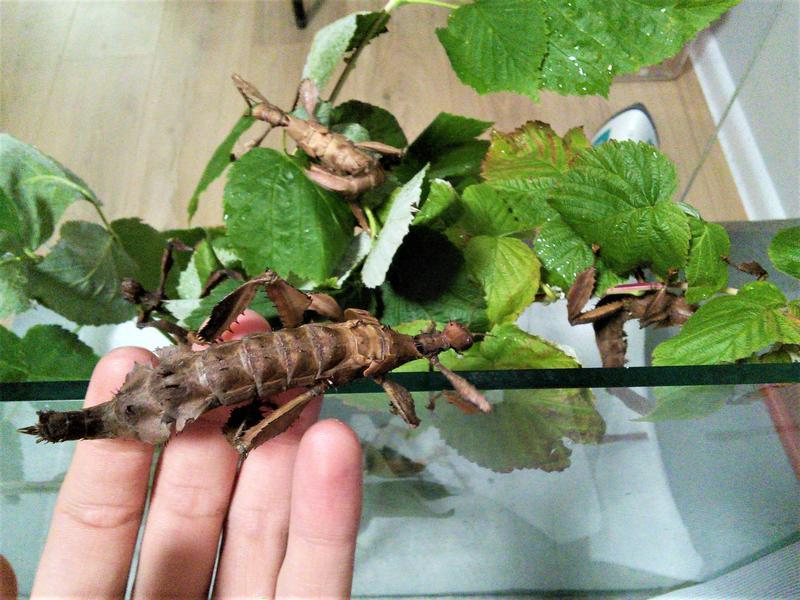 Австралийский палочник (Extatosoma tiaratum) - Фото 3