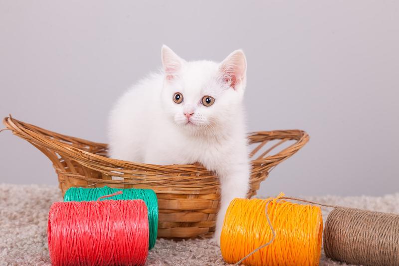 Шотландские котята - Фото 3