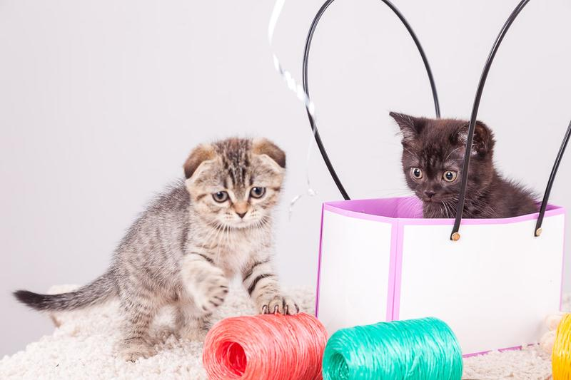 Шотландские котята - Фото 6
