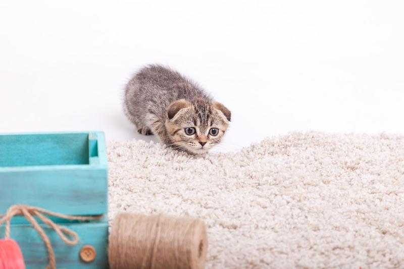 Шотландские котята - Фото 4