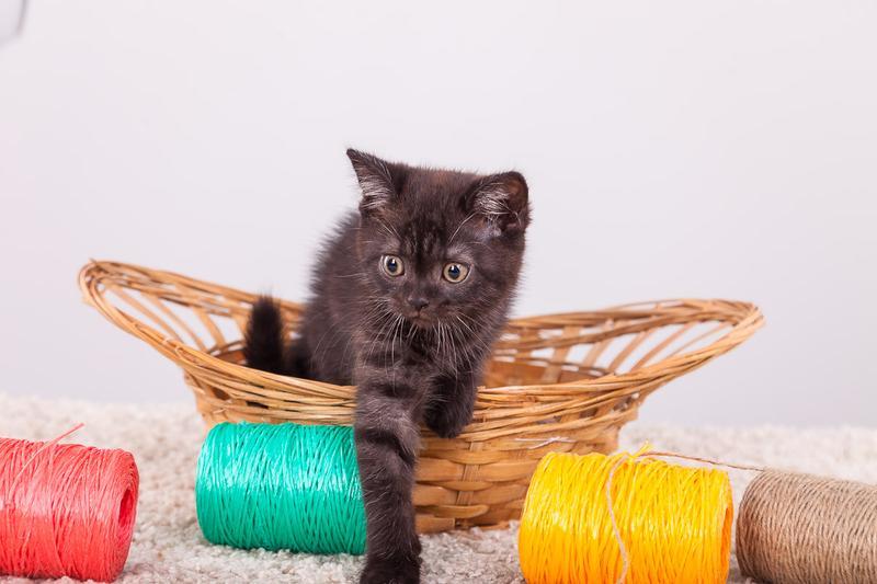 Шотландские котята - Фото 2