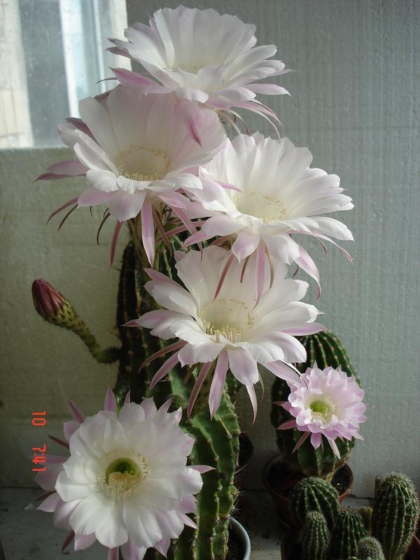 изумительно цветущие кактусы