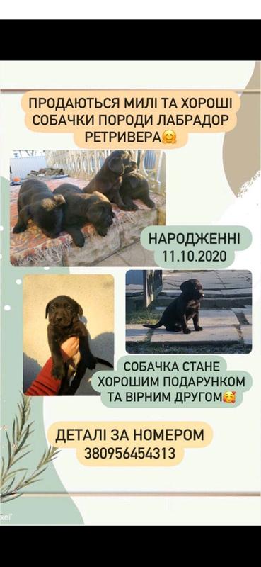 Щенки Лабрадор Ретривер