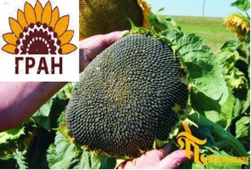 Фірма «ГРАН» пропонує насіння соняшнику під гранстар Нео