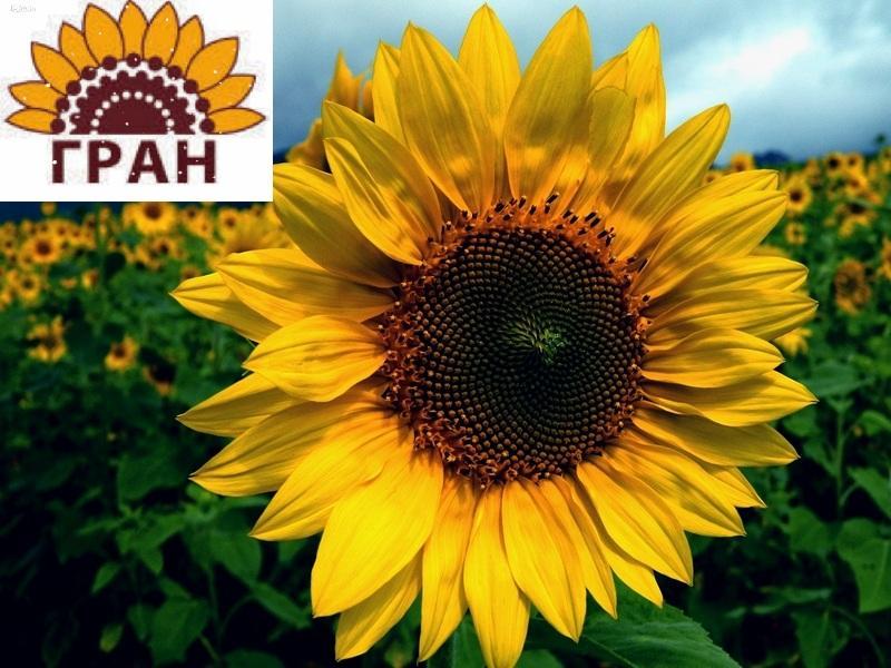 Науково-виробнича фірма «ГРАН» пропонує насіння соняшника «Армаге