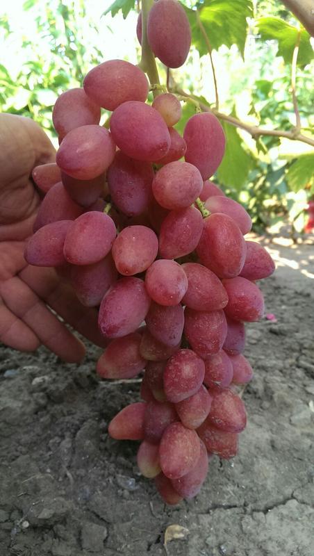 Сажанцы и черенки винограда - Фото 4