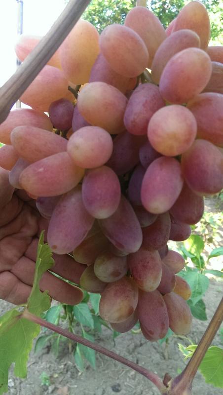 Сажанцы и черенки винограда - Фото 3