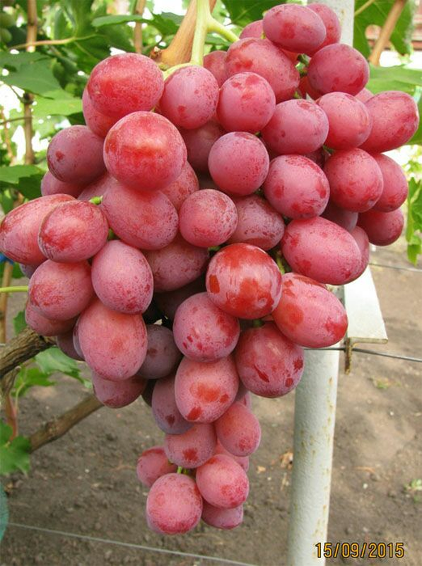 Сажанцы и черенки винограда - Фото 11