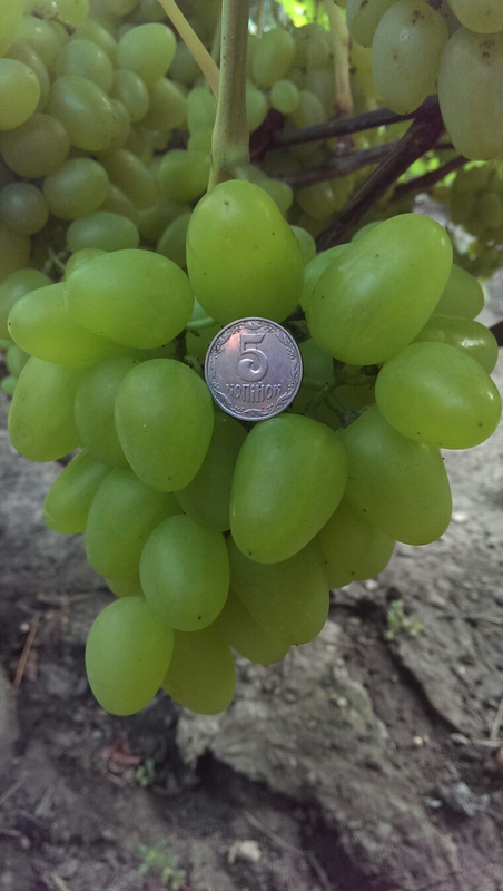 Сажанцы и черенки винограда - Фото 13