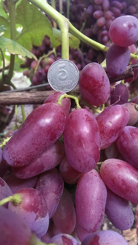Сажанцы и черенки винограда - Фото 14