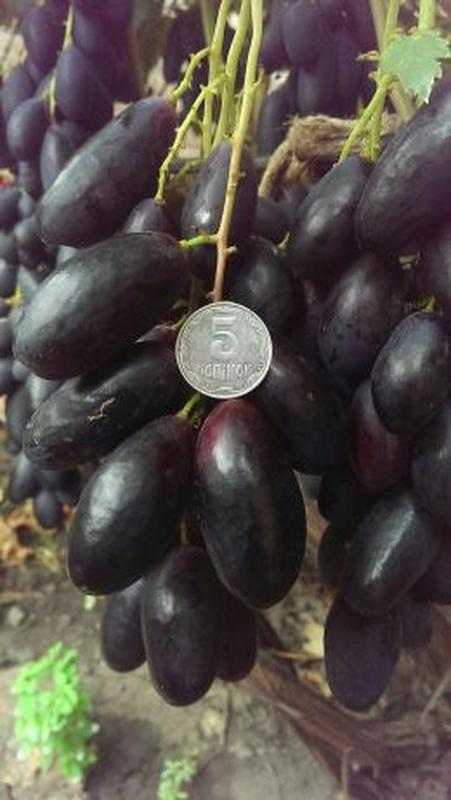 Сажанцы и черенки винограда
