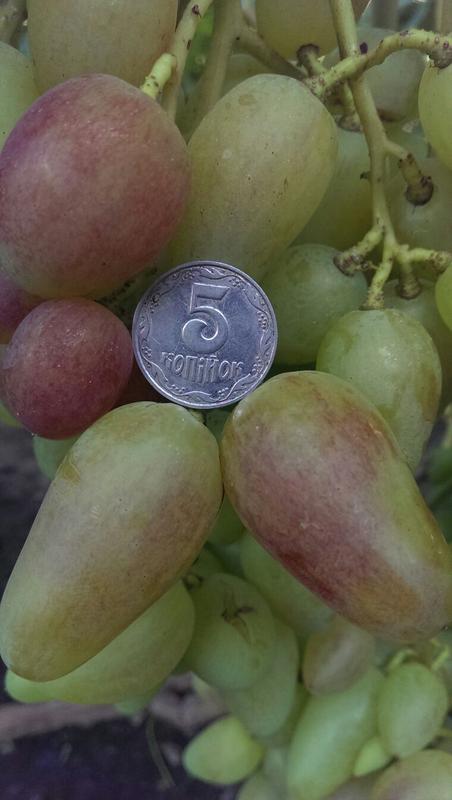 Сажанцы и черенки винограда - Фото 15