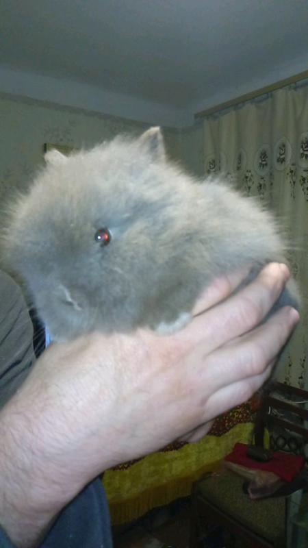 Мини кролик, декоративный