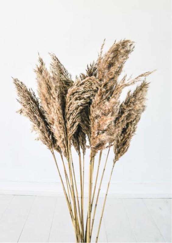 Пампасная трава 8 веток pampas grass Кортадерия тростник Сухоцвет - Фото 2