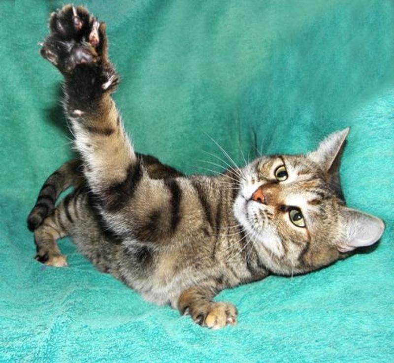 АСЯ - великолепная молодая кошка (2,5 года), тигровая шпротинка