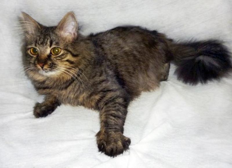 САМИР - Сибирская, МЕТИС, роскошнейший пушистый котик, 1 год. - Фото 2