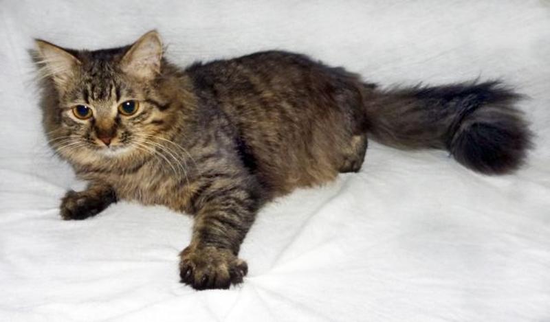 САМИР - Сибирская, МЕТИС, роскошнейший пушистый котик, 1 год. - Фото 3