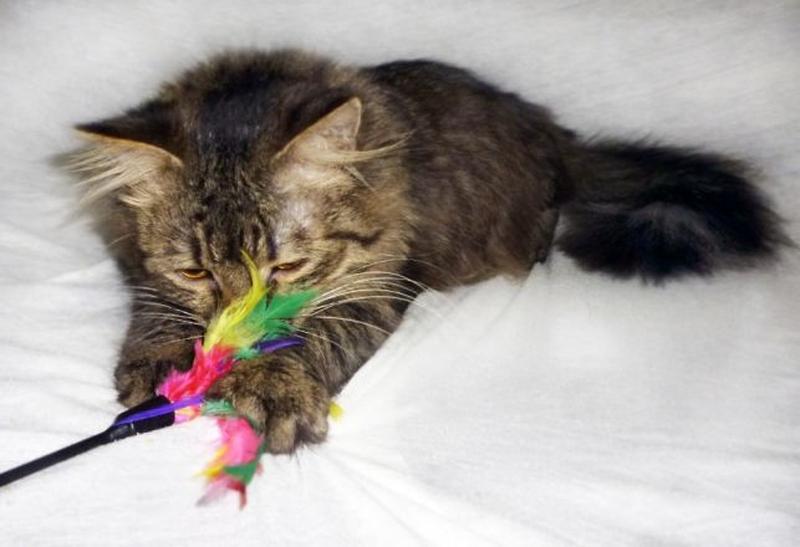 САМИР - Сибирская, МЕТИС, роскошнейший пушистый котик, 1 год. - Фото 6