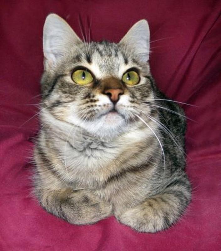 Котик ТИГРЁНОК, 1 год. Очень красивый, ласковый мурчун. Кастри...