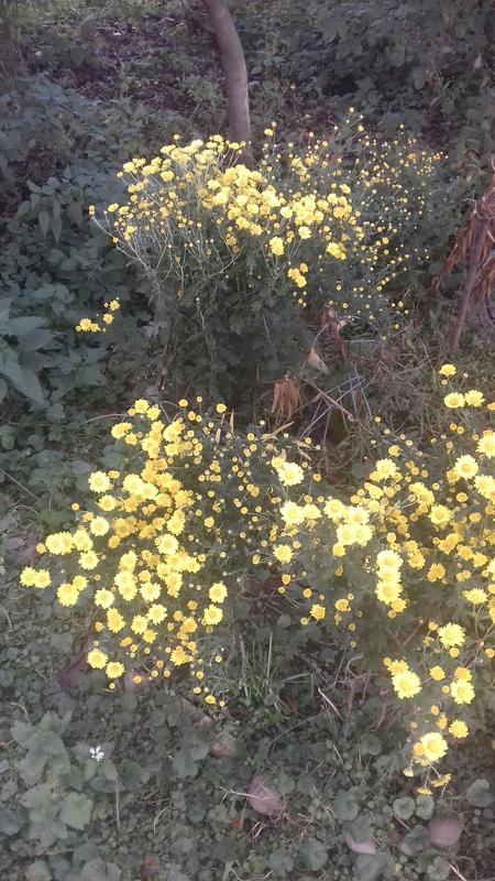 Хризантеми - Фото 3
