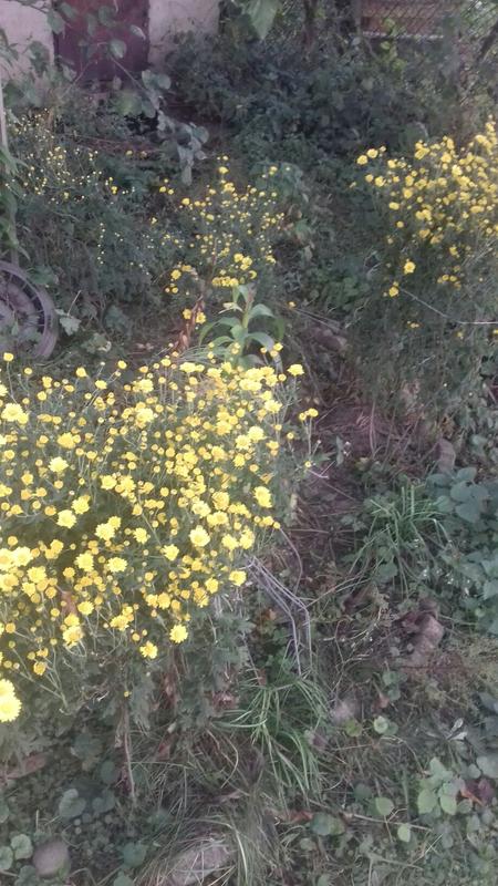 Хризантеми - Фото 2