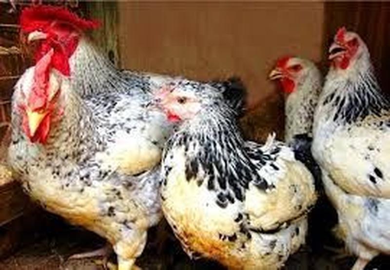 Геркулес цыпленок