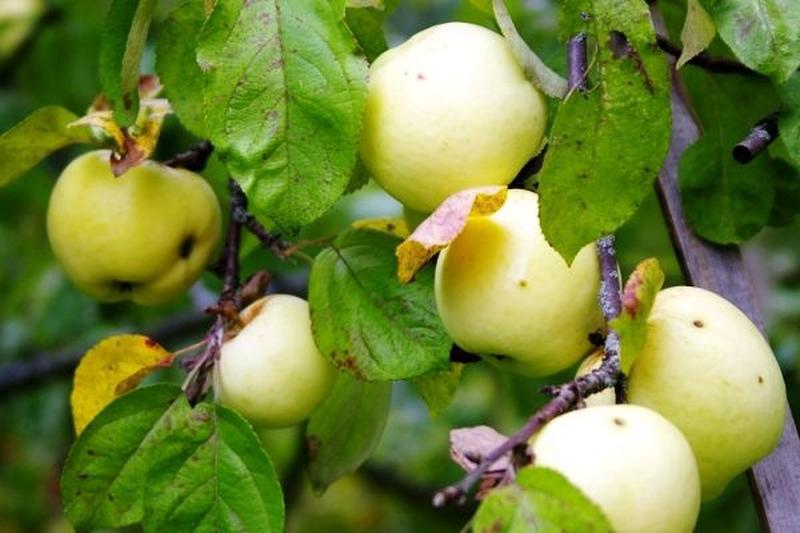 Продам саженцы яблони Антоновка