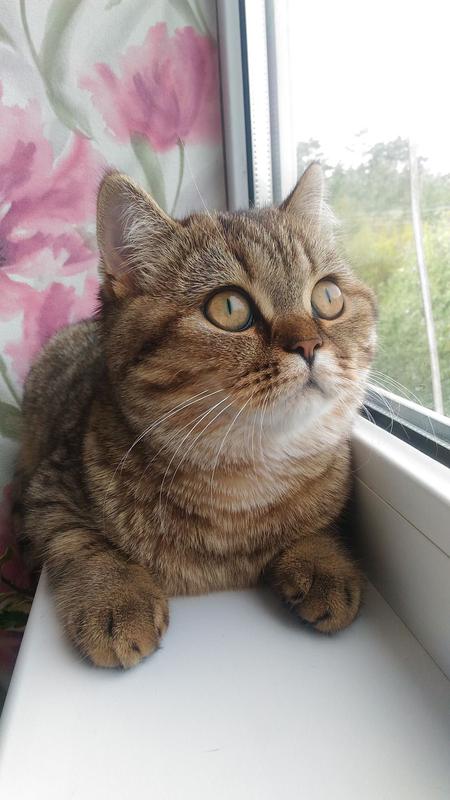 Шотландские котята - Фото 13
