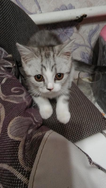 Кошечка британская 2 месяца