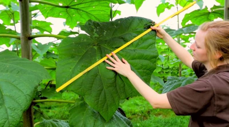 Жалюзи с натурального супер дерева Павловния