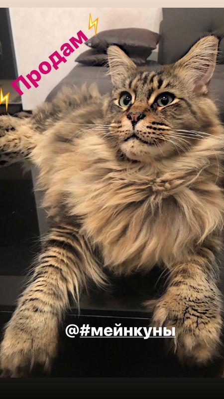 Кот мейнкун