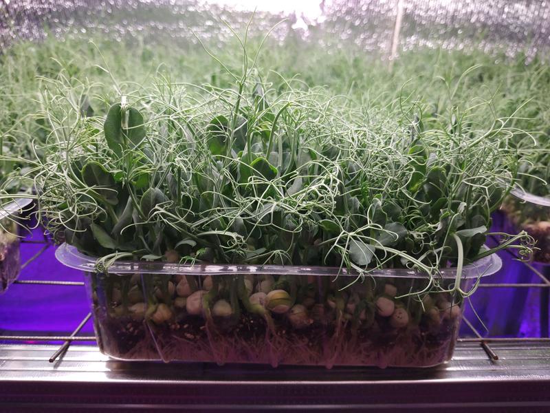 Микрозелень для здоровья