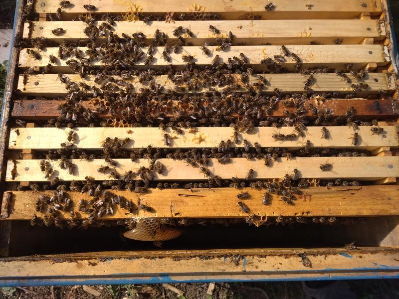Пчеломатки Бакфаст ИО