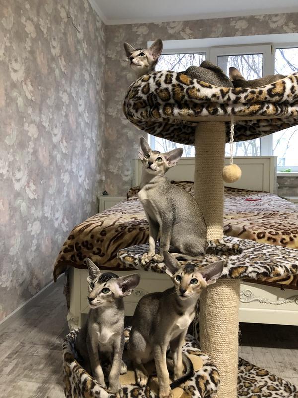 Ориентальные котята. Питомник EAST DREAM.  Г. Сумы - Фото 4