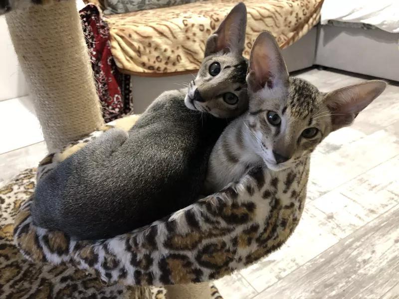 Ориентальные котята. Питомник EAST DREAM.  Г. Сумы - Фото 10