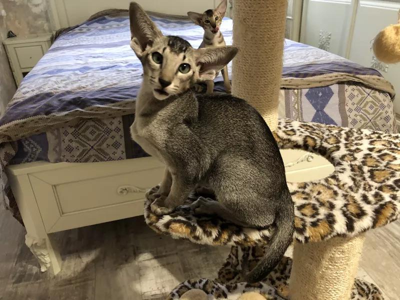 Ориентальные котята. Питомник EAST DREAM.  Г. Сумы - Фото 16