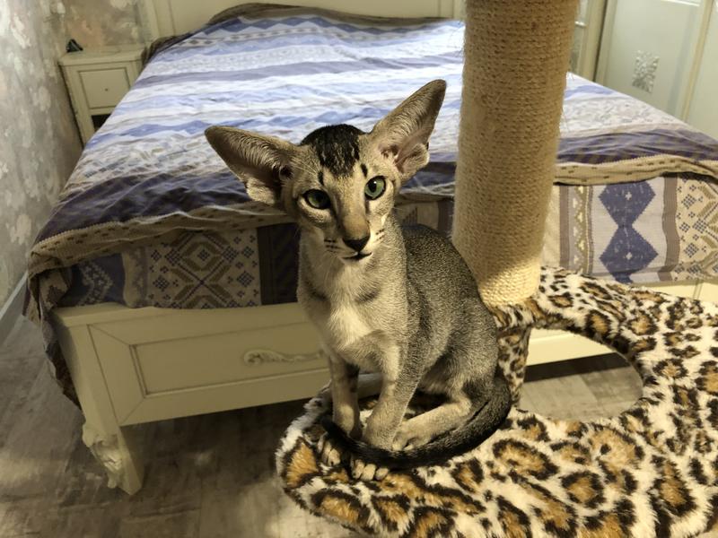 Ориентальные котята. Питомник EAST DREAM.  Г. Сумы - Фото 18