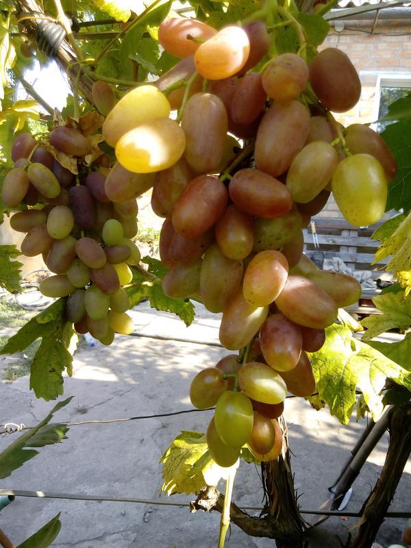 Саженцы винограда Сенсация - Фото 2