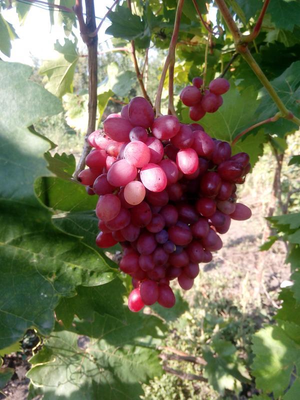 Саженцы винограда Киш-миш Велес
