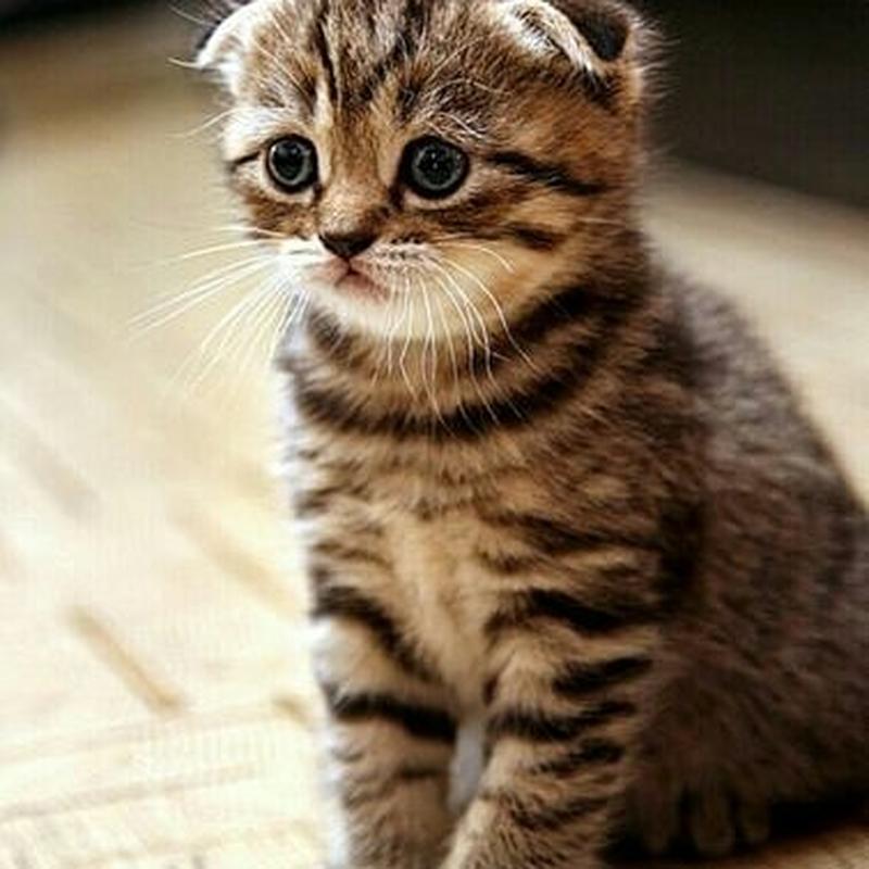 Веслоухие,длинношерстные,короткошерстные котята. 😻Хайленд-фолд!